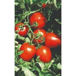 Pomidor Avila F1 5 000n.