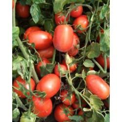 Pomidor Calista F1 1 000n.