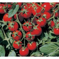 Pomidor Minidor F1 5 000n.