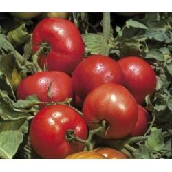 Pomidor Tribeca F1 1 000n.