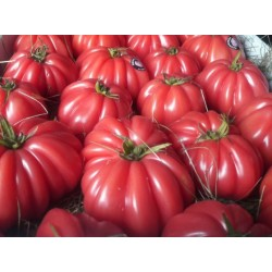 Pomidor Rosamunda F1 100n.