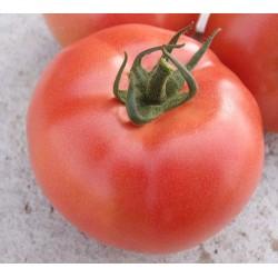 Pomidor VP2 F1 1 000 n.