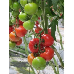 Pomidor Gonsella F1 250 n.