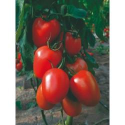 Pomidor Aquamiel F1 250 n.