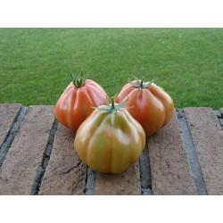 Pomidor Gotico F1 100 n.