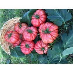 Pomidor Cassarosa F1 100 n.