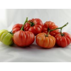 Pomidor Cassarosa F1 250 n.