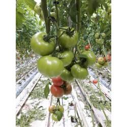 Pomidor Ekin F1 250 n.