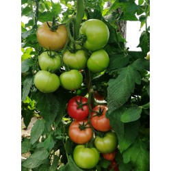 Pomidor Gusto Pink F1...