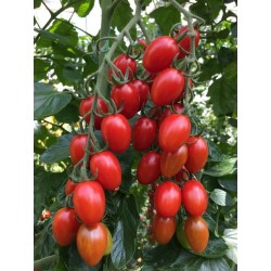 Pomidor Koktajlowy Nicoleta...