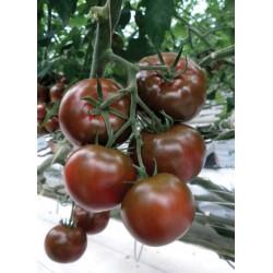 Pomidor czekoladowy Sacher...