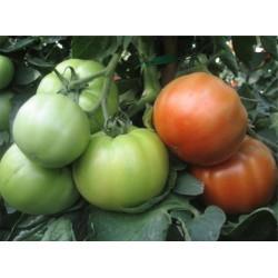 Pomidor Avatar 500N.