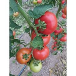 Pomidor czerwony TG9121 F1...