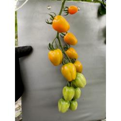 Pomidor Cherry...