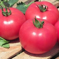 Pomidor Kwintella F1 1 000 n.