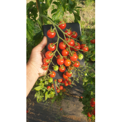 Pomidor cherry Roney F1 100n.