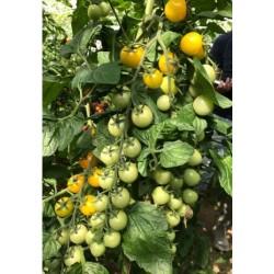 Pomidor cherry Yoney F1...