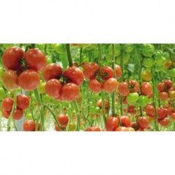 Pomidor Barteza F1 1000 n.