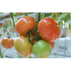 Pomidor Fizuma  F1 1 000 n