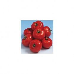 Pomidor Forenza F1 500 n