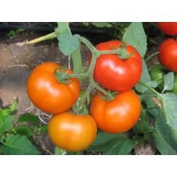 Pomidor Berberana F1 500 n