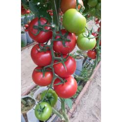 Pomidor czerwony GEMMINNI...