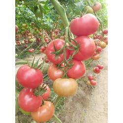 Pomidor malinowy TG 9136 F1...