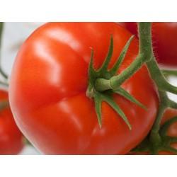 Pomidor Fioreza F1 500n.