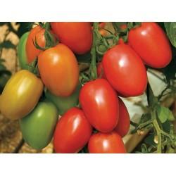 Pomidor Granadero F1 500n.