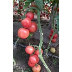 Pomidor Pink King F1 250n.