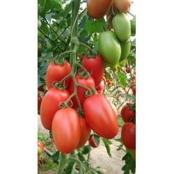 Pomidor Gocciola F1 250n.