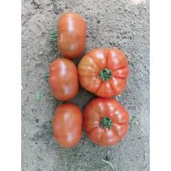 Pomidor TG 9115 F1 100n.