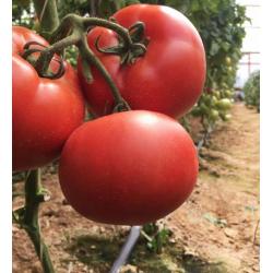 Pomidor Maluno F1 500n.