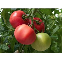 Pomidor Mamston F1 500n.