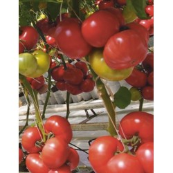 Pomidor Aphen F1 1 000n.