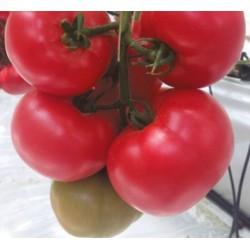 Pomidor Clarosa F1...