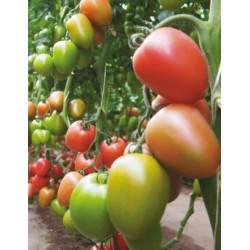 Pomidor Kongo F1 (CLX37898)...