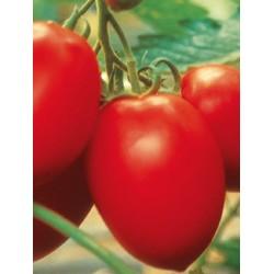 Pomidor Colibri F1 1 000 n.