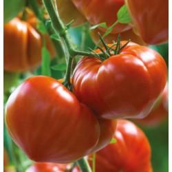 Pomidor Gourmandia F1 250 n.