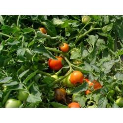 Pomidor Hector F1 5 g.