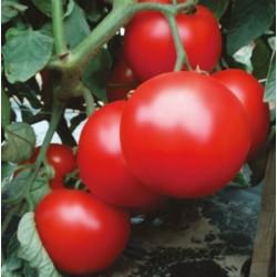 Pomidor Rediana F1...
