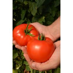 Pomidor Red Deuce F1 5 000 n.