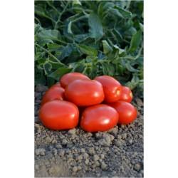 Pomidor Zeplin F1  5000 n.