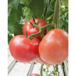 Pomidor Katy Rose F1...